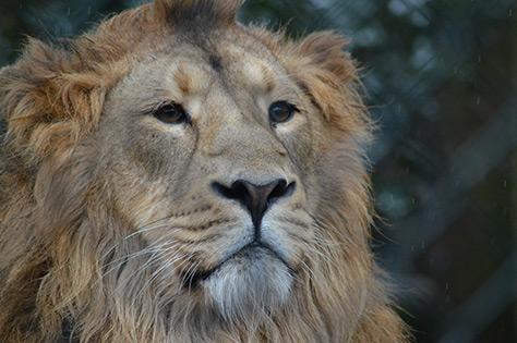 Lion_09.03