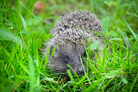 Hedgehog---Culzean-Castle-and-Country-Park