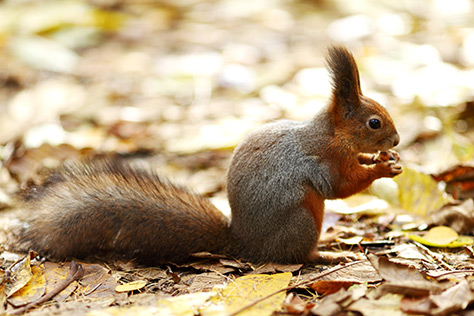 Red-Squirrel---Mount-Stewart