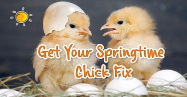 header - get your springtime chick fix