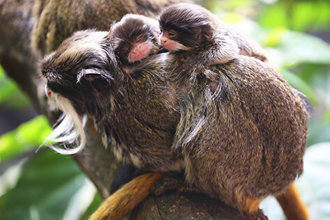 Emperor tamarins at ZSL London Zoo (c)ZSL