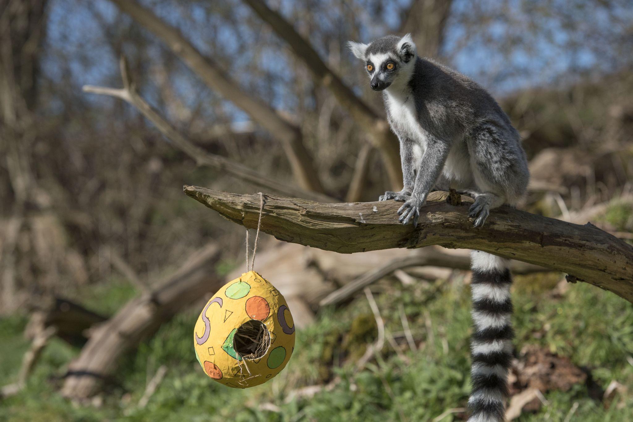 Lemur Easter 06