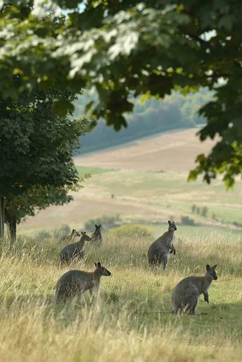 Wallabies at ZSL Whipsnade Zoo (c)ZSL