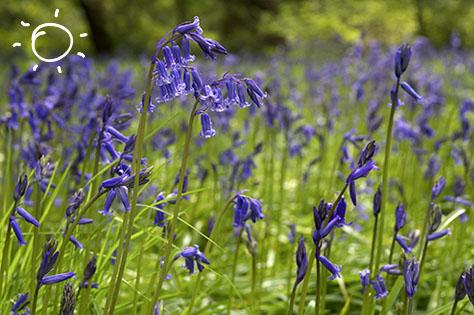 bluebell in kew botanic garden - bigstock