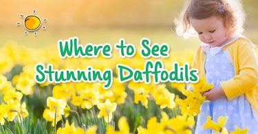 header - where to see stunning daffodils
