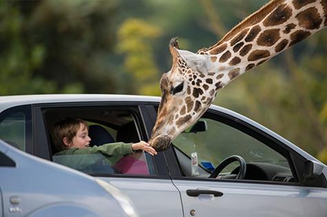 Feeding Giraffes At West Midland Safari and Leisure Park