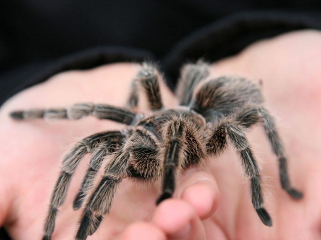Tarantula in Animal Kingdom at Longleat Safari Park